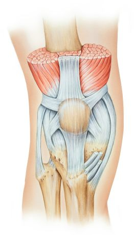 Anatomy of the kneecap